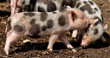 Free Pig Like Mammal, Pig, Domestic Pig, Mammal Royalty Free Stock Photos - 113639388