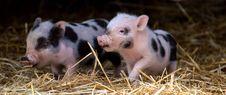 Free Pig Like Mammal, Domestic Pig, Pig, Fauna Stock Photography - 113639402
