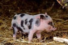 Free Pig Like Mammal, Domestic Pig, Pig, Fauna Royalty Free Stock Images - 113639409