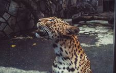 Free Shallow Focus Photography Leopard Royalty Free Stock Photo - 113641975