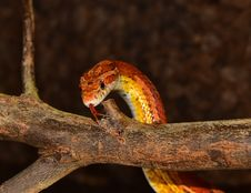 Free Reptile, Scaled Reptile, Snake, Serpent Royalty Free Stock Image - 113647516