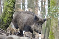 Free Pig Like Mammal, Pig, Wild Boar, Mammal Royalty Free Stock Photography - 113647577