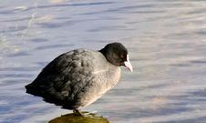 Free Bird, Fauna, Beak, American Coot Stock Photography - 113647602