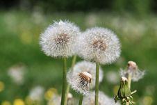 Free Flower, Dandelion, Flora, Plant Royalty Free Stock Photos - 113647648