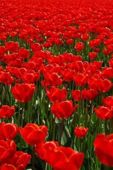 Free Flower, Plant, Red, Field Royalty Free Stock Photography - 113647817