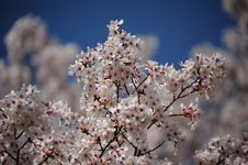 Free Blossom, Spring, Cherry Blossom, Flower Royalty Free Stock Photography - 113647887