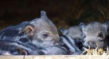 Free Pig Like Mammal, Mammal, Pig, Fauna Royalty Free Stock Photos - 113648328