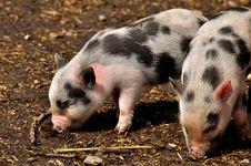 Free Pig Like Mammal, Pig, Domestic Pig, Fauna Stock Photos - 113648363