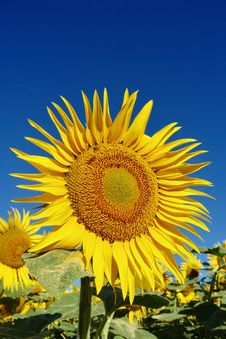 Free Sunflower, Flower, Yellow, Sunflower Seed Royalty Free Stock Photo - 113648485