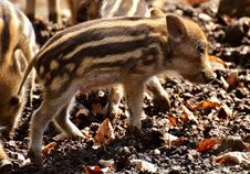 Free Pig Like Mammal, Mammal, Fauna, Pig Royalty Free Stock Image - 113648616