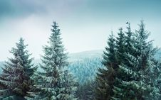 Free Spruce, Spruce Fir Forest, Tree, Ecosystem Stock Photo - 113648630