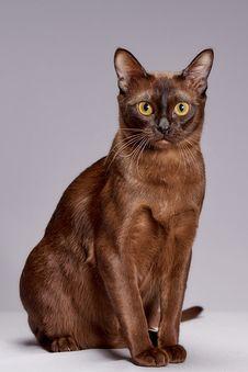 Free Cat, Burmese, Mammal, Small To Medium Sized Cats Stock Image - 113659101