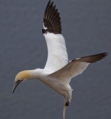 Free Bird, Fauna, Gannet, Seabird Royalty Free Stock Images - 113659129