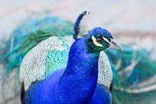 Free Peafowl, Blue, Bird, Beak Stock Photography - 113659132