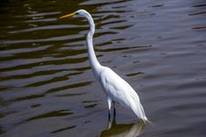 Free Bird, Water, Great Egret, Fauna Stock Images - 113659174