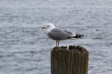 Free Bird, Gull, Seabird, Great Black Backed Gull Stock Photo - 113659220