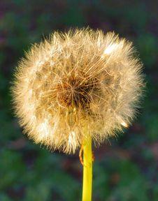Free Flower, Dandelion, Flora, Plant Stock Images - 113659304