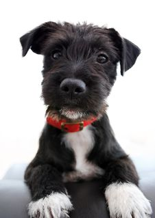 Free Dog, Dog Like Mammal, Dog Breed, Miniature Schnauzer Stock Images - 113659484