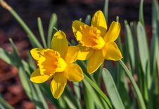 Free Flower, Plant, Flowering Plant, Yellow Royalty Free Stock Photography - 113659577