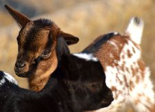 Free Goats, Goat, Fauna, Cow Goat Family Royalty Free Stock Photos - 113659778