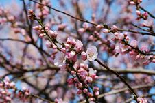 Free Blossom, Pink, Branch, Spring Royalty Free Stock Photography - 113659797