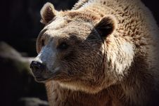 Free Brown Bear, Grizzly Bear, Terrestrial Animal, Mammal Stock Photo - 113659930