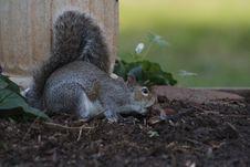 Free Squirrel, Fauna, Mammal, Fox Squirrel Stock Image - 113659951