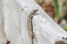 Free Reptile, Scaled Reptile, Fauna, Lizard Royalty Free Stock Image - 113660006