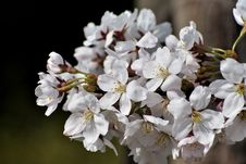 Free Flower, White, Blossom, Cherry Blossom Royalty Free Stock Photography - 113660047