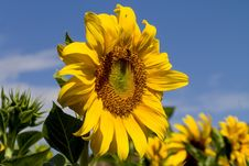 Free Flower, Sunflower, Yellow, Sunflower Seed Royalty Free Stock Photography - 113660077
