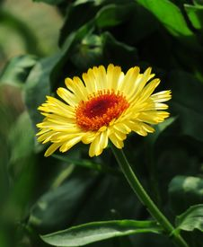 Free Flower, Blanket Flowers, Plant, Daisy Family Royalty Free Stock Photos - 113660148
