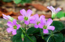 Free Flower, Plant, Flora, Wood Sorrel Family Stock Image - 113660151