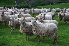Free Herd, Sheep, Pasture, Grass Stock Photography - 113660332
