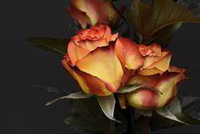 Free Flower, Rose Family, Rose, Garden Roses Stock Photos - 113660333
