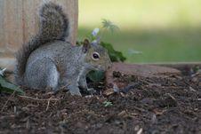 Free Squirrel, Mammal, Fauna, Fox Squirrel Royalty Free Stock Image - 113660406