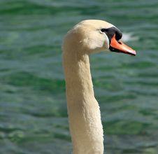 Free Bird, Swan, Water Bird, Ducks Geese And Swans Royalty Free Stock Photos - 113660588