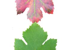 Free Grape Leafs Stock Photos - 11373373