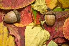 Autumn Beautiful Colored Leaves And Acorns Stock Image