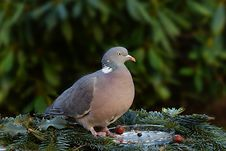 Free Bird, Stock Dove, Pigeons And Doves, Fauna Royalty Free Stock Images - 113737789