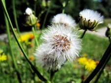 Free Flower, Flora, Dandelion, Plant Stock Images - 113737934