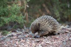 Free Echidna, Monotreme, Mammal, Domesticated Hedgehog Royalty Free Stock Photos - 113737998