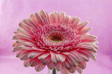 Free Flower, Pink, Flowering Plant, Gerbera Stock Photography - 113738062