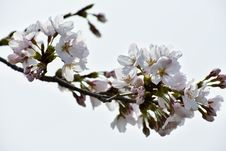 Free Blossom, Branch, Flower, Cherry Blossom Stock Photos - 113738273