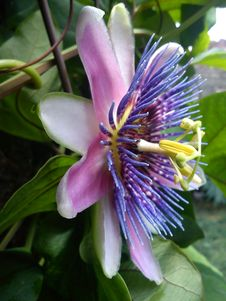 Free Flower, Plant, Passion Flower Family, Passion Flower Royalty Free Stock Photos - 113738388