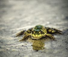 Free Amphibian, Toad, Fauna, Frog Stock Images - 113738644