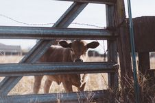 Free Brown Cow Near Gray Steel Fence Royalty Free Stock Photos - 113808948