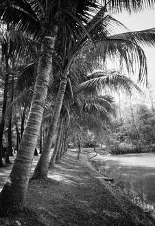 Free Grayscale Photography Of Coconut Trees Beside Body Of Water Royalty Free Stock Images - 113809009