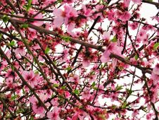 Free Photo Of Cherry Blossom Flowers Royalty Free Stock Image - 113809096