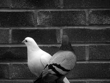 Free Grayscale Photo Of Tow Pigeons Stock Photography - 113809152