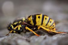Free Gravid Yellow Jacket Wasp Close-up Photography Stock Photo - 113907690
